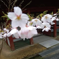 神峯山寺の四季 春