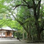 役行者手植えの菩提樹